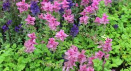 8 Benefits and Uses of Clary Sage Essential Oil