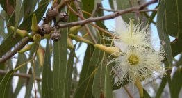 8 Natural Remedies with Eucalyptus Essential Oil