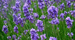 9 Benefits and Everyday Uses of Lavender Essential Oil
