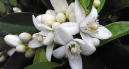 Neroli Essential Oil: 9 Benefits and Uses