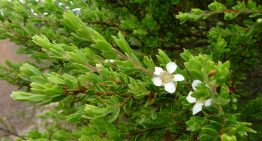 14 Natural Remedies with Tea Tree Essential Oil