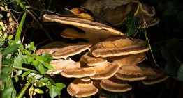 9 Incredible Health Benefits of Turkey Tail Mushrooms (#3 is Athletic Endurance)